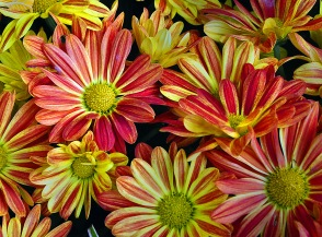 red yellow mums