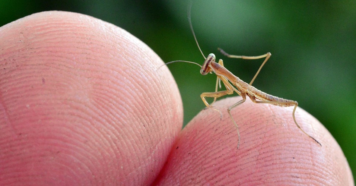 2 finger mantis