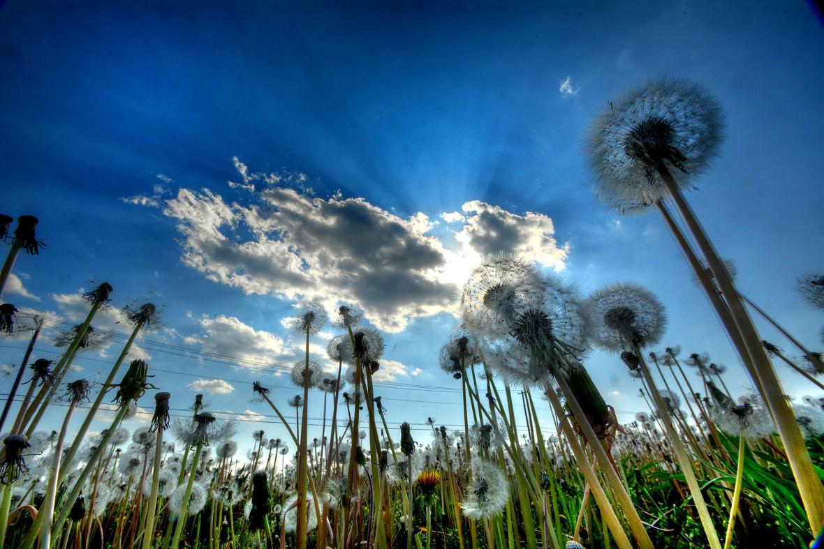 landscape sun dandelions 1