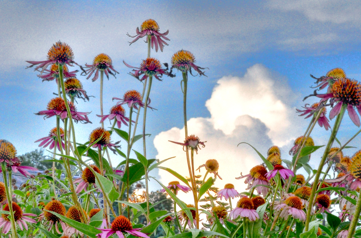 coneflowers 3 tonemapped