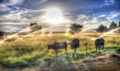 irrigation field w cows