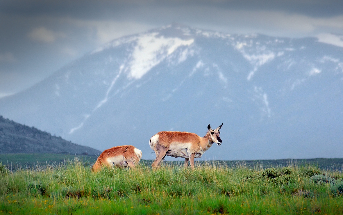 pronghorn and moutain