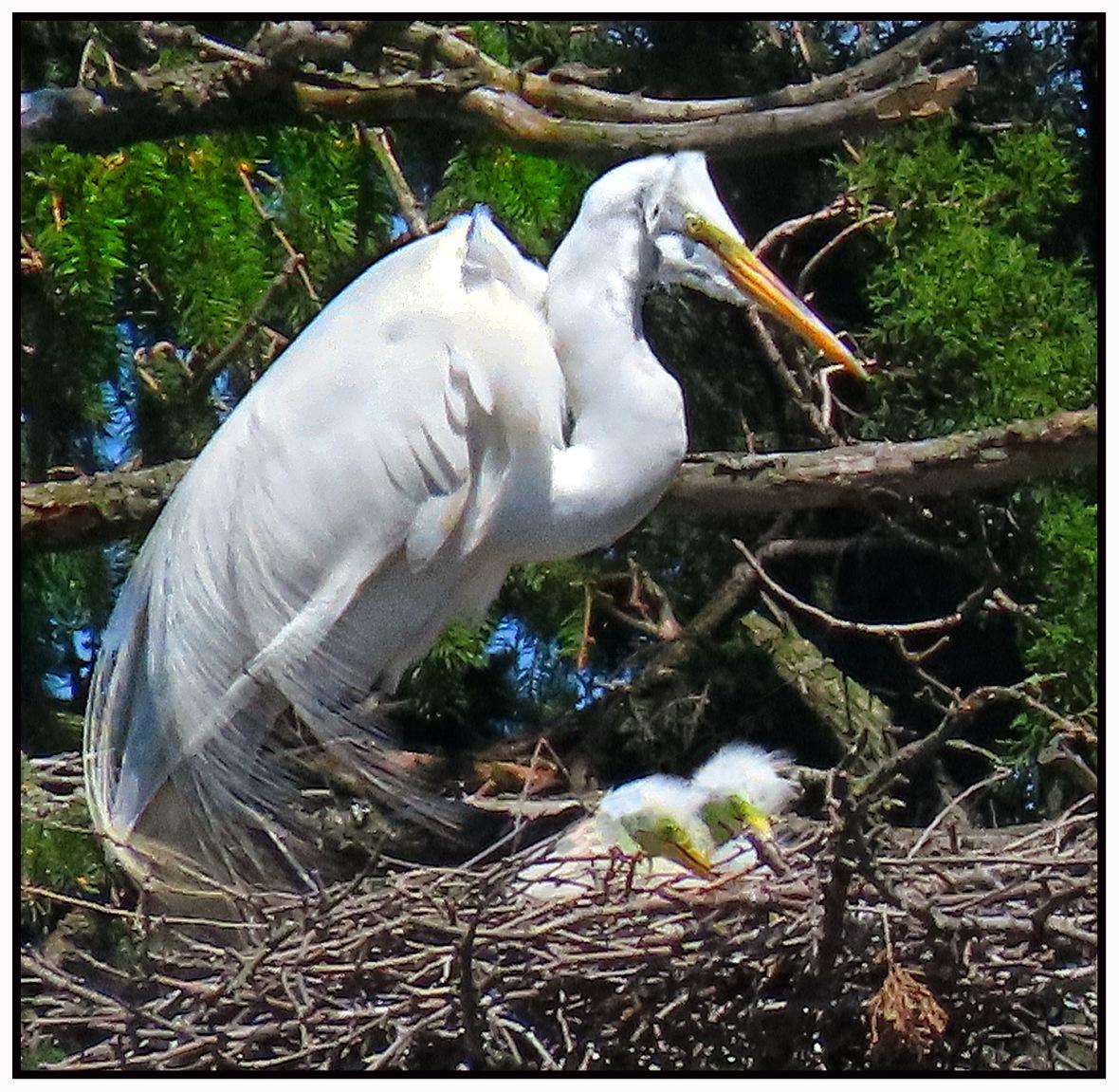 05102020 egret tiny babies
